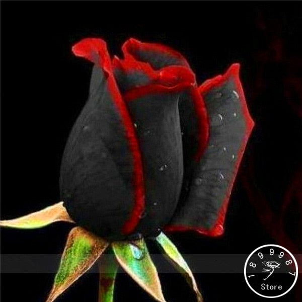 100 PCS China Rare Black Rose Flowers Rare Amazingly Beautiful Black Rose bonsai a Popular Garden Flower,Q1QVWF