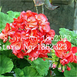 100 Pcs Geranium Bonsai Rare Variegated Geranium Flower Potted Winter Perennial Garden Flower for Bonsai Plant for Home Garden