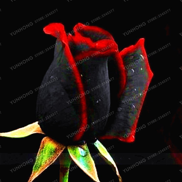 100 Pcs Rare Rose Bonsai Black Rose Flower With Red Edge Rare Rose Flowers Bonsai For Garden Bonsai Planting