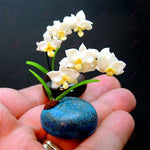 100 Pcs Rare mini Bonsai Orchid balcony Mini Orchid flower pot Beautiful Garden flower