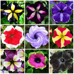 100 pcs petunia flower plants rare beautiful petunia garden flowers plantas para jardin indoor bonsai tree for garden decoration