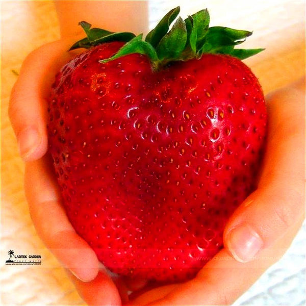 1000 Giant Strawberry ,Rare,Big as a Peach,very delicious Fruit Strawberry fruit for home garden