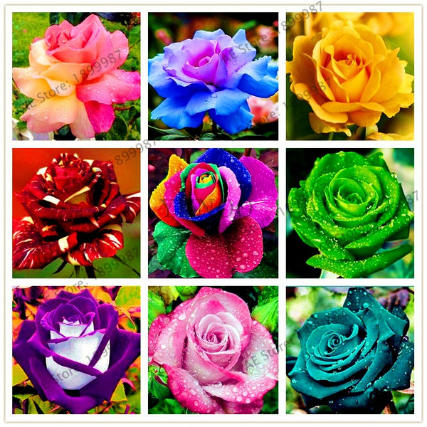 200 pcs Rare Holland Rainbow Rose Flower bonsai Home Garden Rare Flower plant 24 color rainbow Rose flores