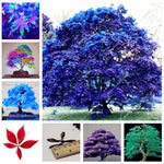 30 Pcs bonsai blue maple tree bonsai planta tree Seedling rare sky blue japanese maple bonsai Balcony plants for home garden