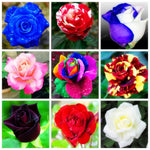 50 Pcs Rare Rose Flowers Bonsa 25 Colors Selection Home Garden Perennial Plant Flowers Beautiful Bonsai Plant DIY Garden Supplie
