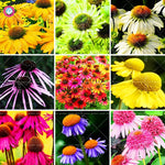 50pcs/bag bonsai Echinacea purpurea  9 Kind of color rare flower  Perennial chrysanthemum potted plants for home garden