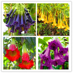 Best-Selling! datura mini bonsai flower plant for home garden planting Brugmansia Datura Rare flower Potted,100flores