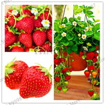 Big Promotion!100 PCS Red giant Climbing Strawberry Plantas Fruit floresling For Home & Garden DIY rare Plants for bonsai Fruit