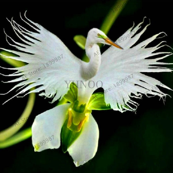 Genuine!100 Japanese Radiata plant White Egret Orchid Bonsai flores World's Rare Orchid Species Flowers Orchidee For Garden Home