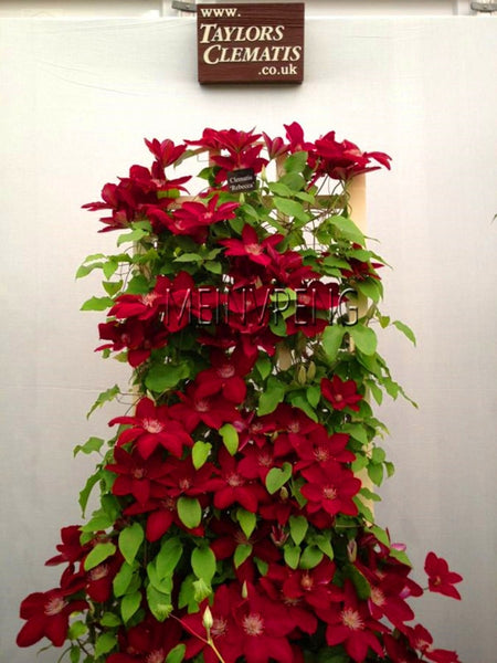 Loss Promotion!free ship 100garden multi-colored clematis bonsai, real rare clematis plant, Bonsai clematis bulbs wire lotus