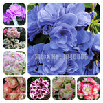 New Arrival 100 Pcs Rare Color Geranium Plant,Perennial Flowers Garden Bonsai Flower, Easy Growth Indoor Bonsai Home Garden