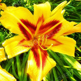 Promotion!2pcs / Bag Rare Yeelow  Lily Bulb, Not Lily plant, It Is Bulb, Bonsai Lily Bulb, Pleasant Fragrance, Home And Garden P