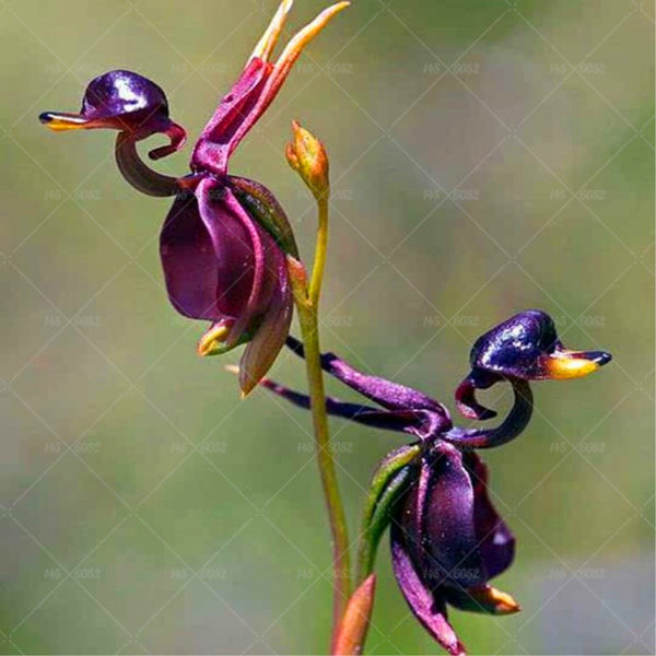 Rare Japanese orchid DIY home garden plants pot bonsai flowers  200pcs man orchid Multiple varieties