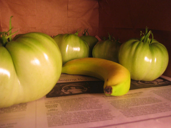 Green tomatoes ripening alongside a banana.
