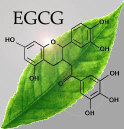 GREEN TEA AND EGCG AND FLU PREVENTIONS