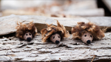 Prickle of Hedgehogs Kit