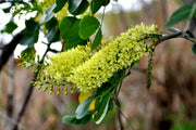logwood tree flower