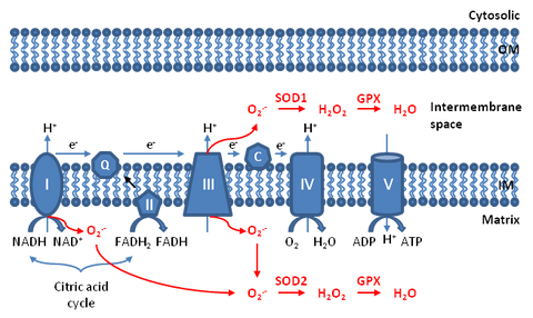 mitochondria and energy production