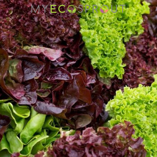 Mixed Loose Leaf Lettuce