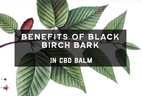 Skin Benefits of Black Birch Bark