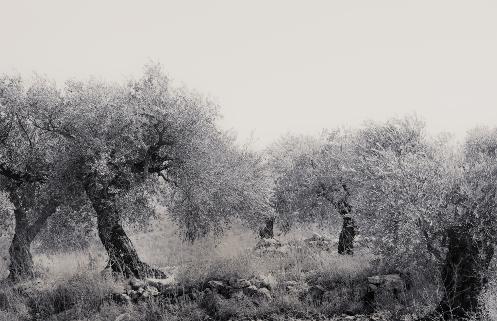 Olive Grove, Israel (Rolled Canvas)