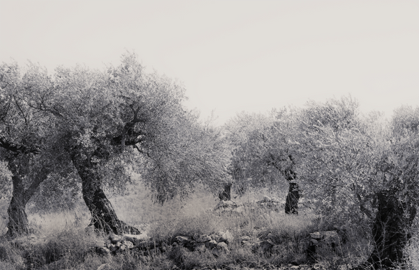 Olive Grove, Israel (Canvas Print)