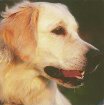 Blank Card - Golden Retriever