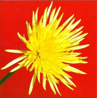 Blank card - Spider Chrysanthemum