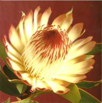 Blank cards - Pack of 6 - Water Lily