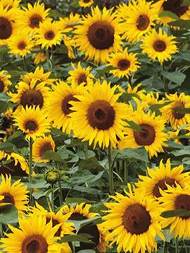 Blank Cards - Pack of 4 - Sunflowers