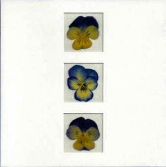 Blank card - 3 Blue Pansies
