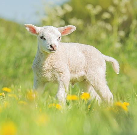 Easter Card - Spring Lamb