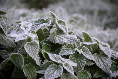 stinging nettle in frost