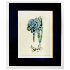 Custom Framed Large Blue Iris II Limited Edition Etching 33/750