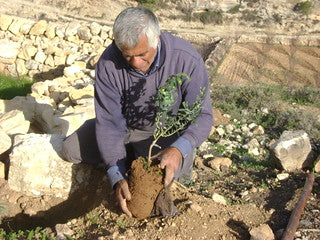 Olive Trees and Date Palms planted in Palestine!