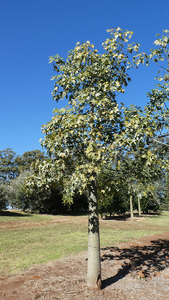 BRACHYCHITON australis (Broad Leaved Bottle Tree)