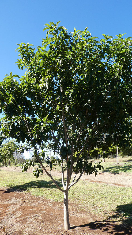 CALODENDRON capense (Cape Chestnut)