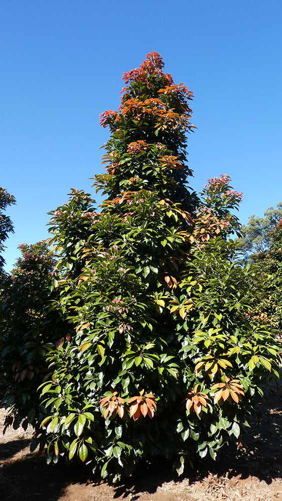 ELAEOCARPUS eumundii (Eumundi or Smooth Leaved Quandong)