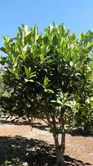 FICUS macrophylla (Moreton Bay Fig)