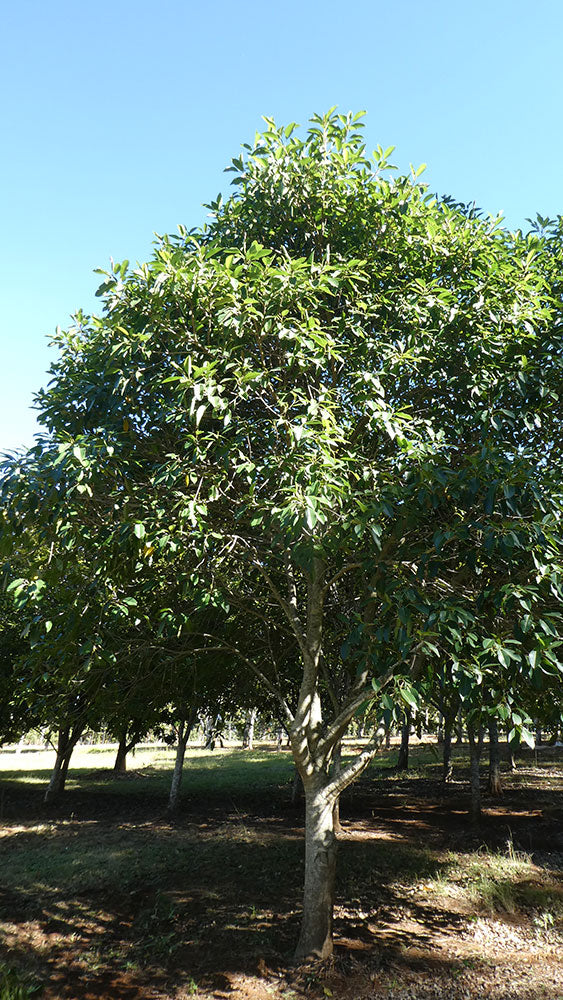 FICUS rubiginosa  (Port Jackson Fig)