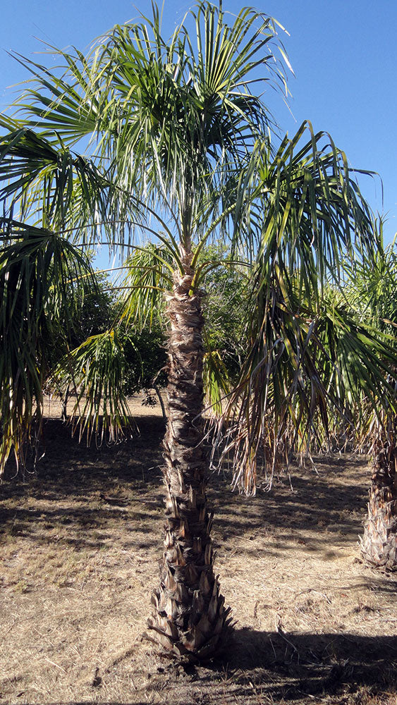 LIVISTONA decipiens (Ribbon Fan Palm)