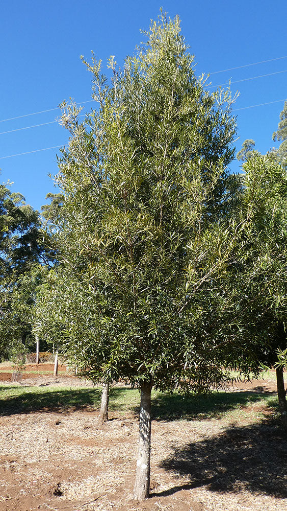 PODOCARPUS elatus (Plum or Brown Pine)