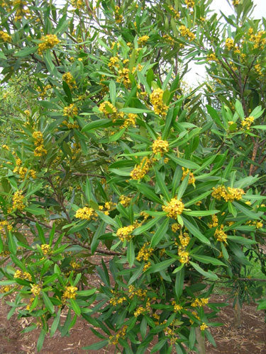 TRISTANIOPSIS laurina (Water Gum or Kanooka)