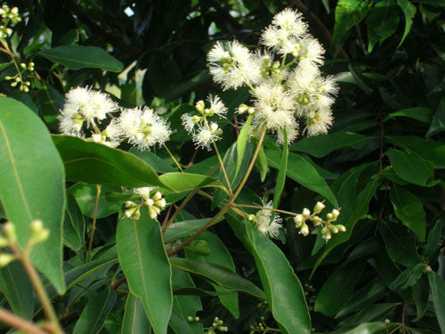 WATERHOUSIA floribunda (Weeping Lilly Pilly)