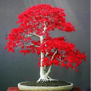 100% True U.S.A  Red Maple Tree, American Bonsai 30pcs Seeds, Beautiful Indoor Tree