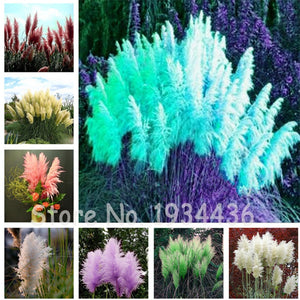 400 Pcs Italian Blue Pampas Flower Mixed Flowers Plant Easy Grow Bonsai Grass For Home Garden Nature Plants Courtyard Decoration