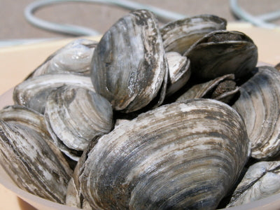 Steamer Clams