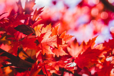 Kiri Bio | Caring for Your Autumn Blaze Red Maple Tree
