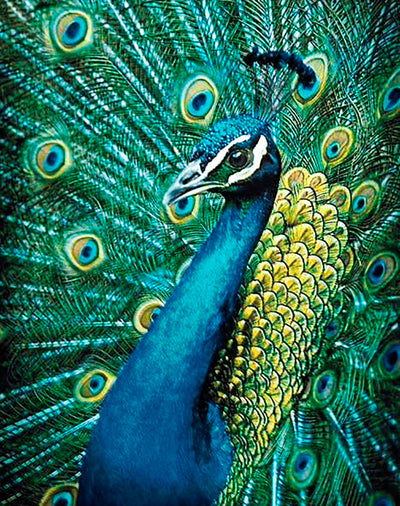 Wizardi Diamond Painting Kit - Peacock