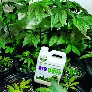 Big Buds Super Concentrate
